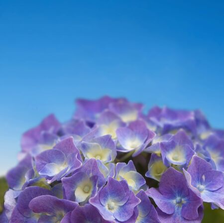 close up of purple hydrangea on blue sky - shallow dept of field Standard-Bild