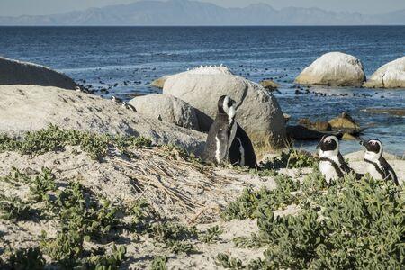penguins on beach: Penguins beach in cape town