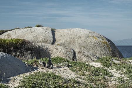 flightless: Penguins beach in cape town