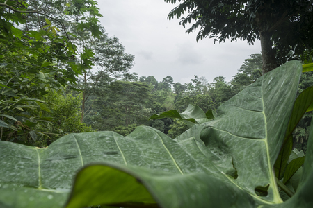 Big leaf in the rain forest of Sao Tome Stock Photo