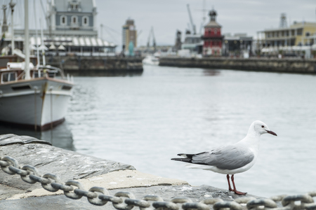 robben island: Seagull in capetown waterfront harbor with boats