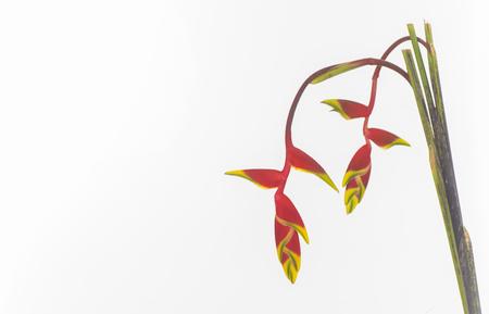 amaryllidaceae isolated Stock Photo
