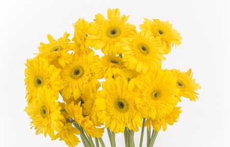 transvaal daisies isolated