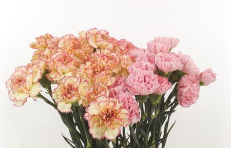 wild roses pink and yellow Zdjęcie Seryjne