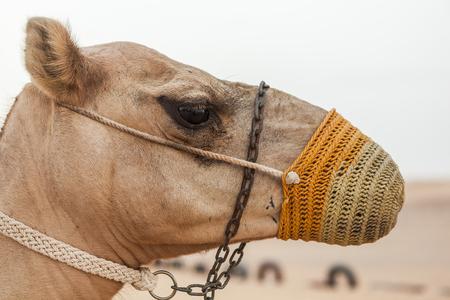 territories: Camel portrait
