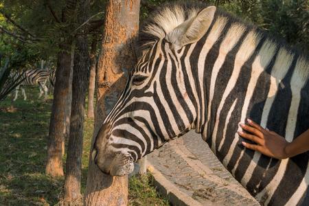 Young girl massaging zebra. Lubango. Angola. Stock Photo