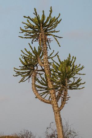 African cactus. Angola.