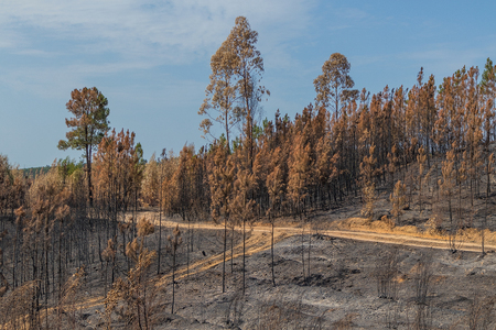 Burned forest in Portugal. Stock Photo