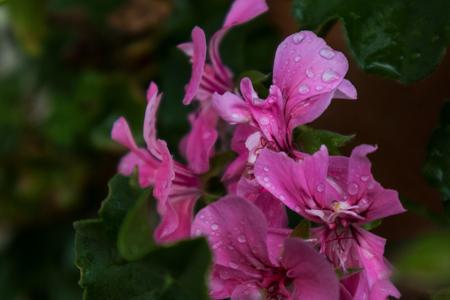 Fall phlox flowers with rain water drops. Stock Photo