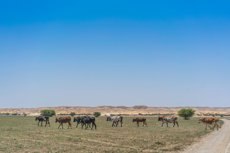 Group of cows grazing in the oasis of the Namib Desert. Angola. Banque d'images