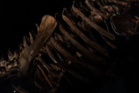 Dinosaur bones with black background.