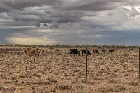 Cows grazing in the Namibia Desert on the way to Sossuvlei.