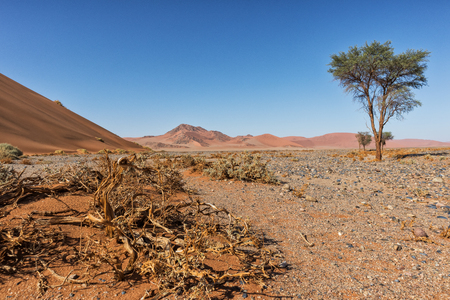 lonely tree landscape with shrubs and red dunes in the Namibia desert. Sossusvlei. Stockfoto