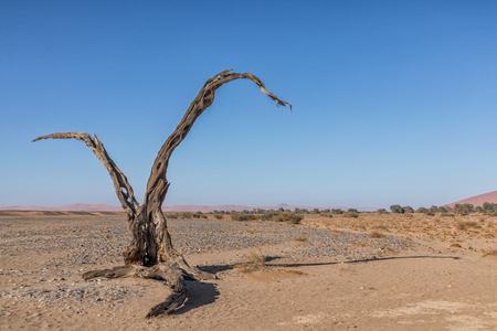 Old and dead tree in Sossusvlei, Namibia. With V form.