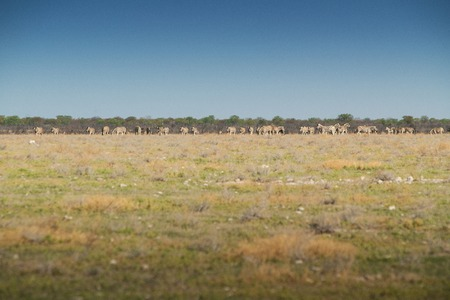 Herd of zebras walking on etosha. Namibia. Africa. Stock Photo