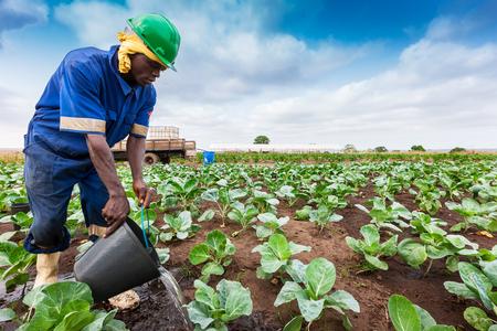 CABINDA/ANGOLA - 09JUN2010 - African farmer to watering plantation.