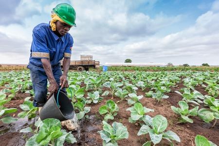CABINDA/ANGOLA - 09 JUN 2010 - African farmer watering cabbage planting, Cabinda. Angola. Foto de archivo - 99411209
