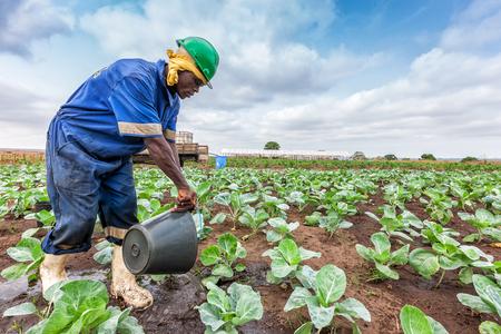 CABINDA/ANGOLA - 09 JUN 2010 - African farmer watering cabbage planting, Cabinda. Angola. Foto de archivo - 99411213