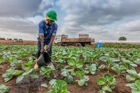 CABINDA/ANGOLA - 09 JUN 2010 - African farmer watering cabbage planting, Cabinda. Angola. Foto de archivo - 99411222