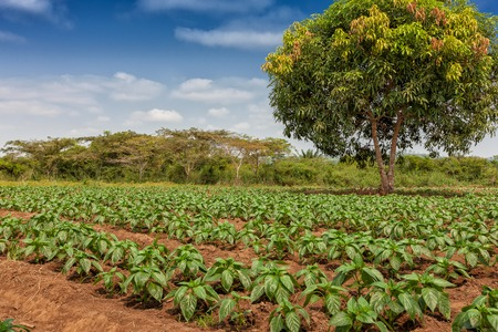 Rural plantation in the middle of the cabinda jungle. Angola, Africa.