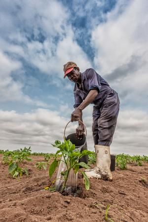 CABINDAANGOLA - 09 JUN 2010 - African farmer watering cabbage planting, Cabinda. Angola. Editorial