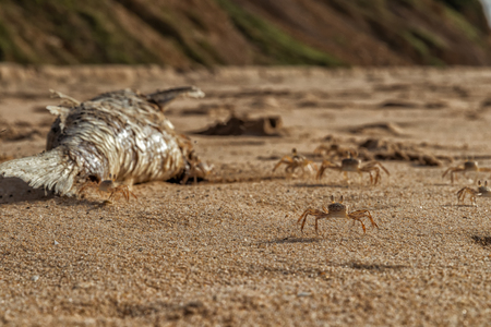 Crabs on the beach eating dead fish.