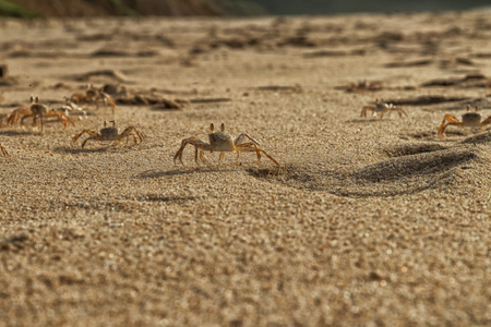 Crabs on the beach sand of Cape Ledo, Africa. Angola. With the sunset light.