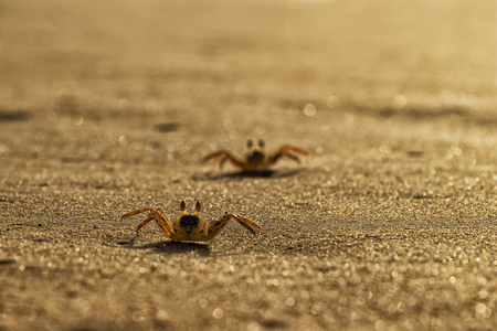 Crabs on the beach sand of Cape Ledo, Africa. Angola. With the sunset light. Banco de Imagens - 100148142