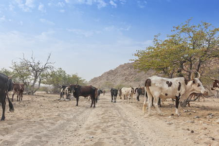 Cows and wild bull grazing in a remote area of the Cunene. Angola. Africa.