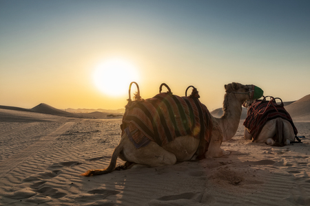 Camels in the Abu Dhabi desert with sunset.