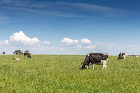 Vaca lechera de la raza Holstein Frisona. Pastar en campo verde.