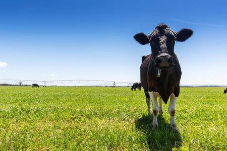 Milk cow of the Holstein breed Friesian. To graze on green field. Stock Photo