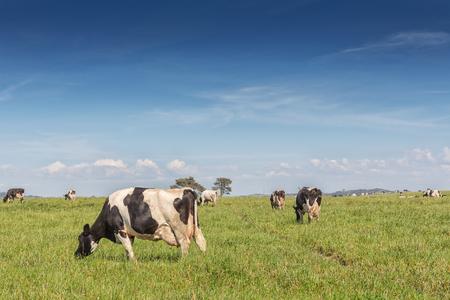 Las vacas lecheras de la raza Holstein Frisona, pastando en campo verde.