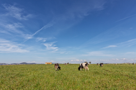 Green pasture field with dairy cows. Holstein breed Friesian. Foto de archivo - 126346129