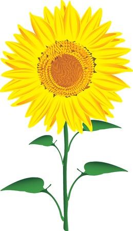 zonnebloem: Vector illustratie van de Zonnebloem geïsoleerd op een witte achtergrond