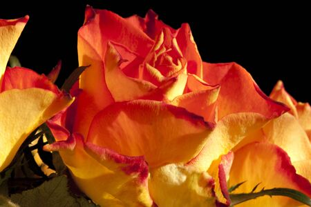 Orange roses on black background  photo