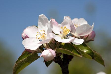 Spring cherry blossom,Shallow Dof.  photo