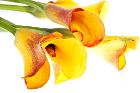 Yellow callas bouquet isolated on white photo