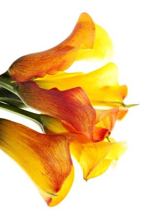 calas blancas: Amarillo ramo de calas aisladas en blanco