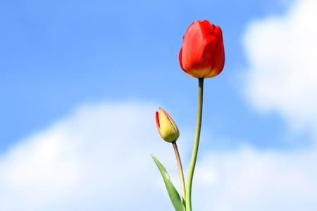 Tulipani con cielo blu