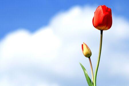Tulips against blue sky Stock Photo