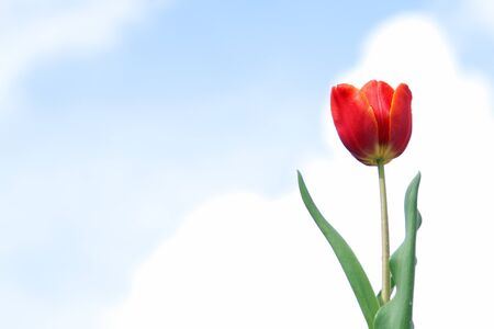 Tulipani contro il cielo blu