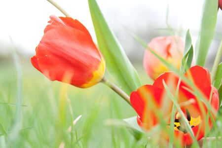 Tulips on a green meadow