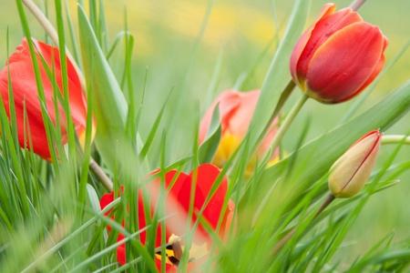 Tulipani su un prato verde