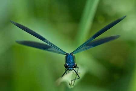 Banded demoiselle before departure Stock Photo