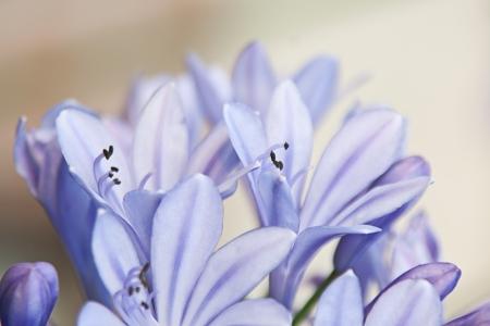 Dreamy agapanthus Stock Photo