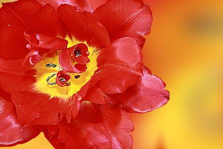 Red tulip in the spring sun