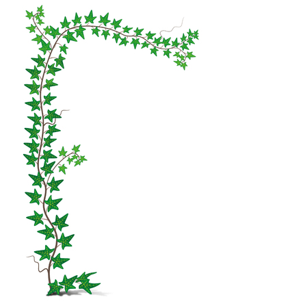 Illustrazione vettoriale - edera verde