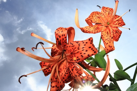 Tiger Lilies with sunburst against bright blue sky