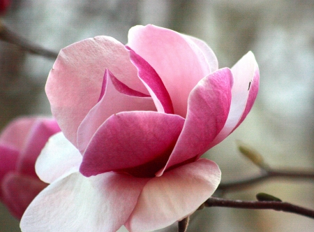 Magnolia tree blossom close up 版權商用圖片
